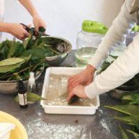 ビワの葉発酵エキス作り